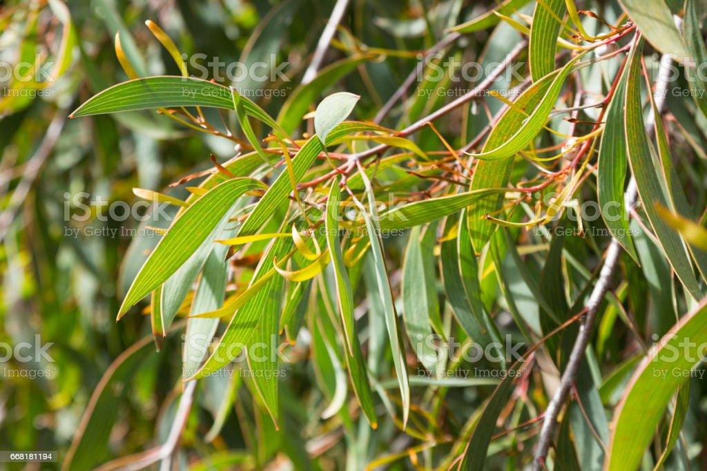 hakea laurina leaves outdoors stock photo