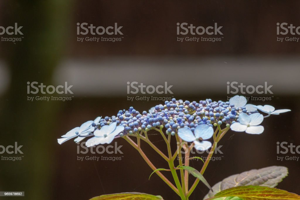Hakuji Hortensie Blume. Schuss in Japan.close-up.People werden nicht angezeigt. - Lizenzfrei Baumblüte Stock-Foto