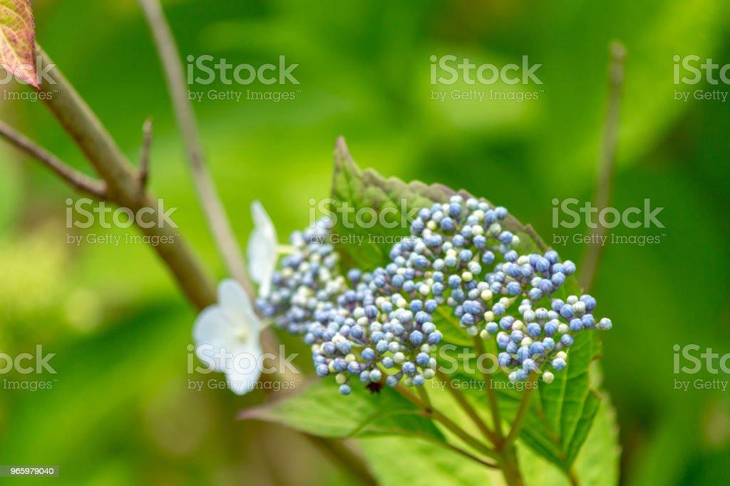 Hakuji Hydrangea flower.Shot in Japan.close-up.People are not shown. - Стоковые фото Без людей роялти-фри