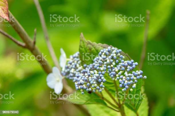 Hakuji Hydrangea Flowershot In Japancloseuppeople Are Not Shown — стоковые фотографии и другие картинки Без людей
