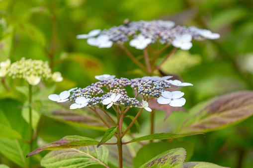 Hakuji Hortensia Blomma Skott I Japancloseuppeople Visas Inte-foton och fler bilder på Blomma