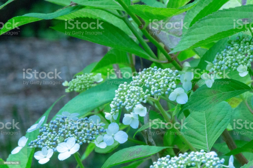 Hakuji hortensia bloem. Schot in Japan.close-up.People worden niet weergegeven. - Royalty-free Blad Stockfoto