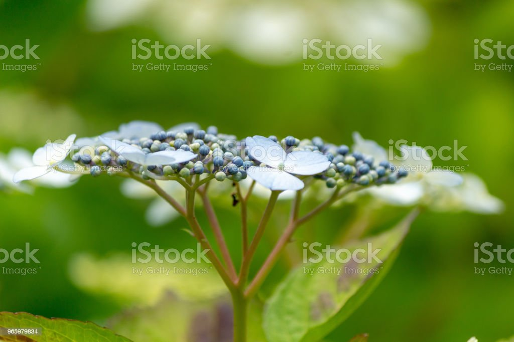 Hakuji Hydrangea flower.Shot in Japan.close-up.People are not shown. - Royalty-free Blossom Stock Photo