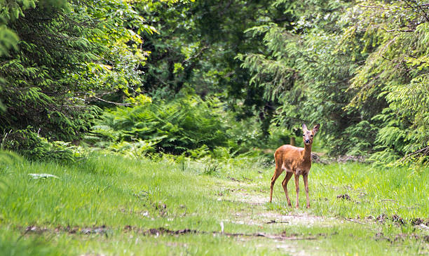 Haldon Deer – Foto