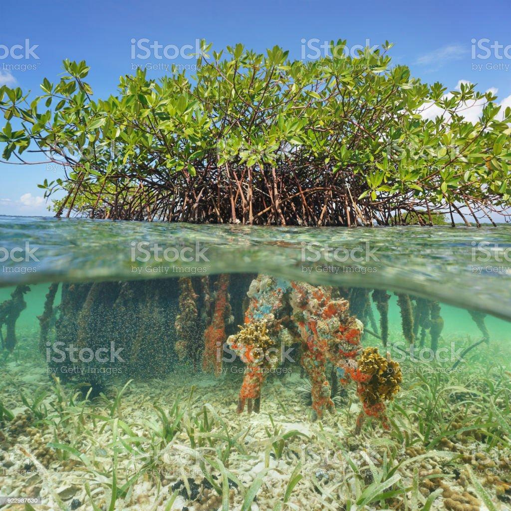 Mangrove Tree Underwater