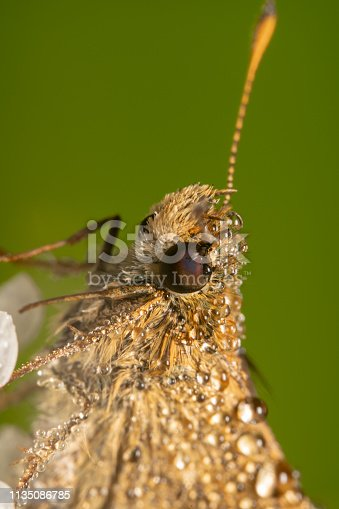 Half body Portrait full body shot of a Small skipper/Thymelicus sylvestris butterfly on a flower in early morning with water droplets visible. Cute butterfly with beautiful antennas pointing up