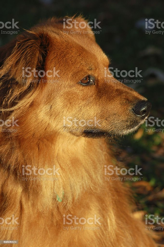 Half Chow Golden Retriever dog in Autumn royalty-free stock photo