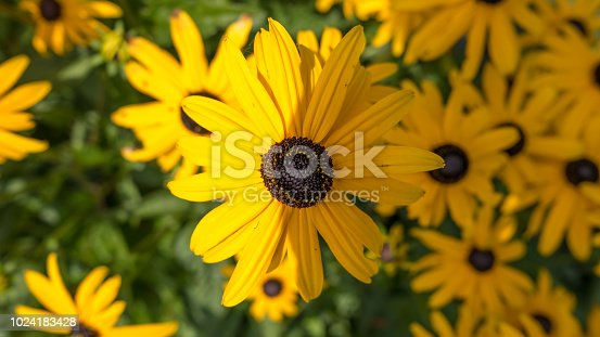 Detailed close-up of black-eyed Susan flower with shadow bisecting the flower
