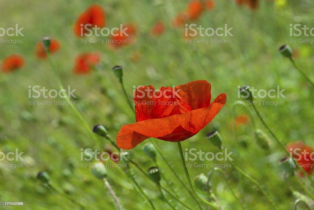 Half opened bud of red poppy stock photo