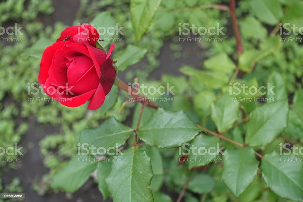 Half opened red flower of garden rose stock photo