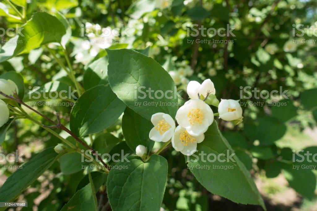 Half opened white flowers of mock orange
