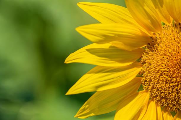 half part of a sunflower stock photo