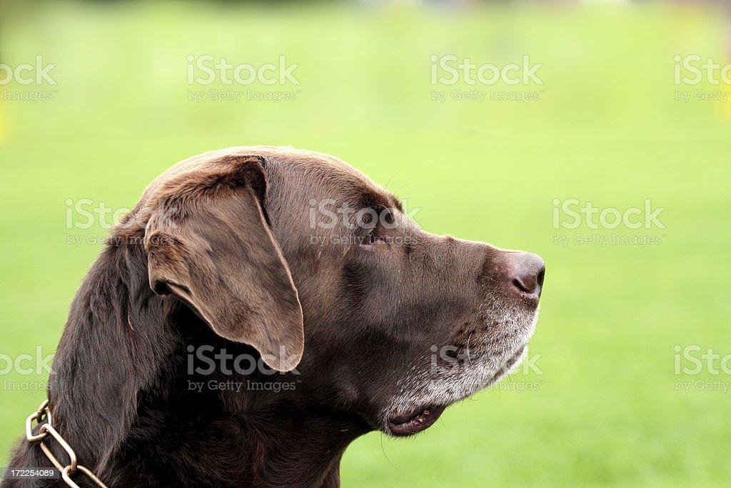 Half portrait of a brown Labrador. stock photo