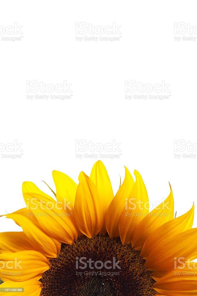 Half Sunflower on White stock photo