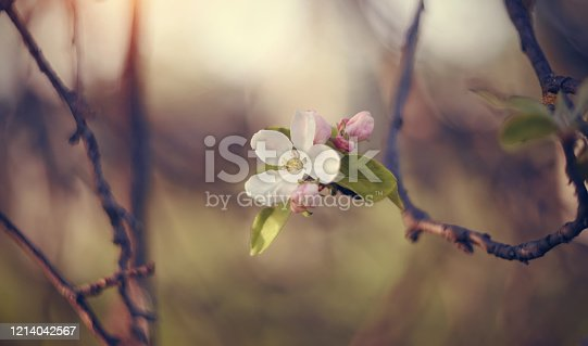 Half the dried-up Apple branch with spring flowers. Branches with flowers of Apple tree.