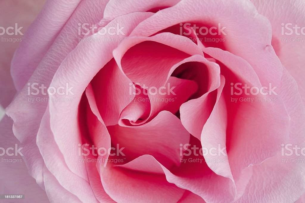 Half-blooming pink rose royalty-free stock photo