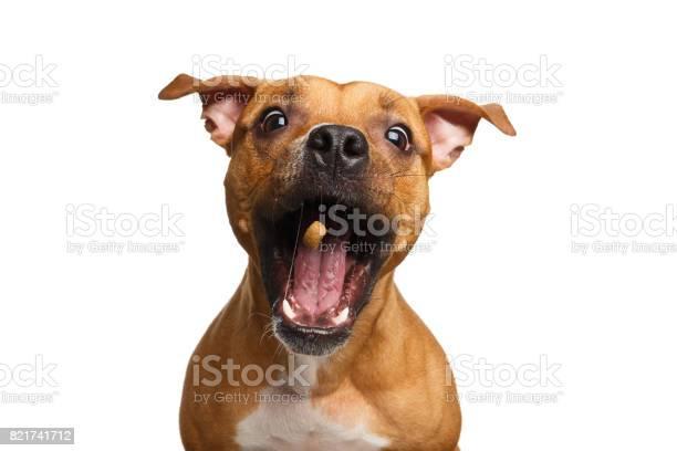 Halfbreed red dog catch treats picture id821741712?b=1&k=6&m=821741712&s=612x612&h=qdycwu1sa6lf8fauz75i jtxuks23t47nzmjtuoc zq=