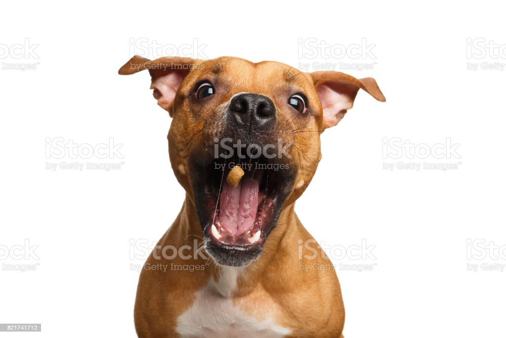 Half-breed Red Dog Catch treats stock photo