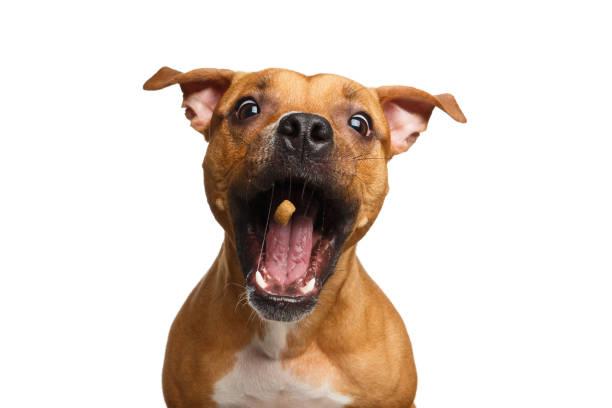 Half-breed Red Dog Catch treats stock photo