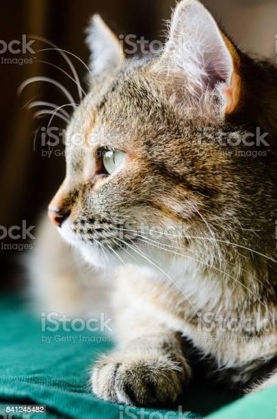 Halfface tabby cat portrait picture id841245482?b=1&k=6&m=841245482&s=612x612&h=dgvzy68edsj1lxflhzhpfetv4qukr4etssatpk96vqu=