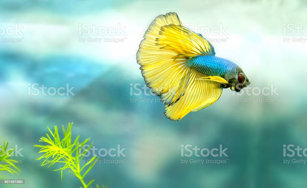 Halfmoon Betta Fish Colorful Fish Swimming In The Lake Stock Photo ...