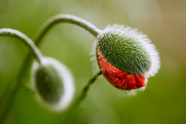 meia-inaugurado flor de papoula bud - papoula planta - fotografias e filmes do acervo
