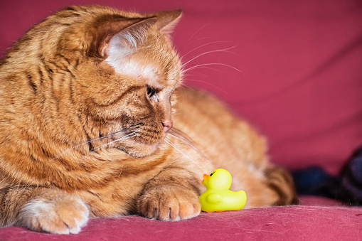 Halfpersian Orange Cat Sitting On A Couch Looking Down At A