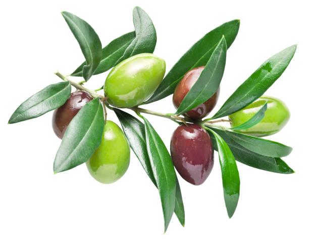 half-ripe fresh olive berries on the olive branch. - ramoscello d'ulivo foto e immagini stock