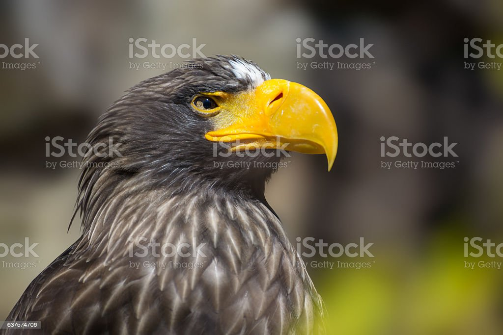 Haliaeetus albicilla stock photo