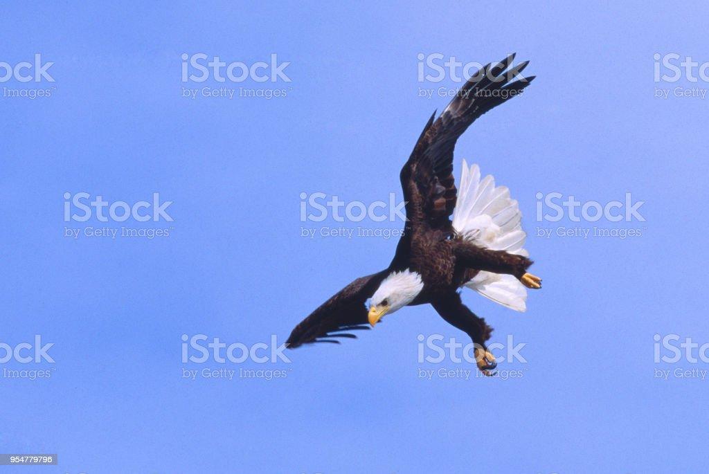 Haliaetus leucochephalus - Aquila di mare americana - foto stock