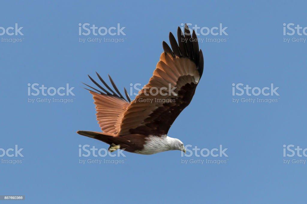 Haliastur indus or red backed sea eagle Kerala India stock photo