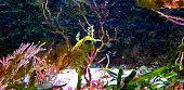 Haliichthys taeniophorus-Fetz-Seenadel