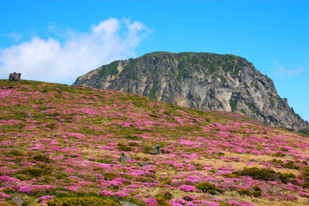 Hallasan, Mountain, Mountain, Mountain, Forest, Mountain, Forest, Forest, Azalea, Rock, YoungSil Course, YoungSil Course, 제주에 있는 한라산의 풍경이다. seogwipo stock pictures, royalty-free photos & images