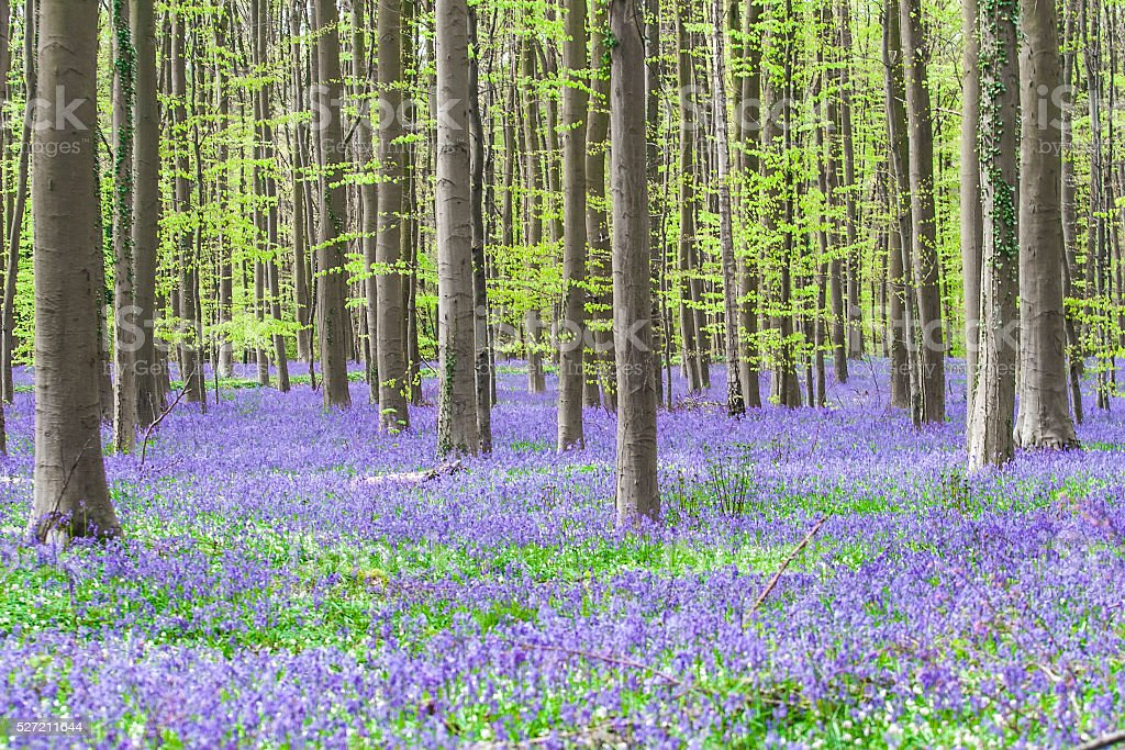 Hallerbos, ancient purple bluebell forest stock photo