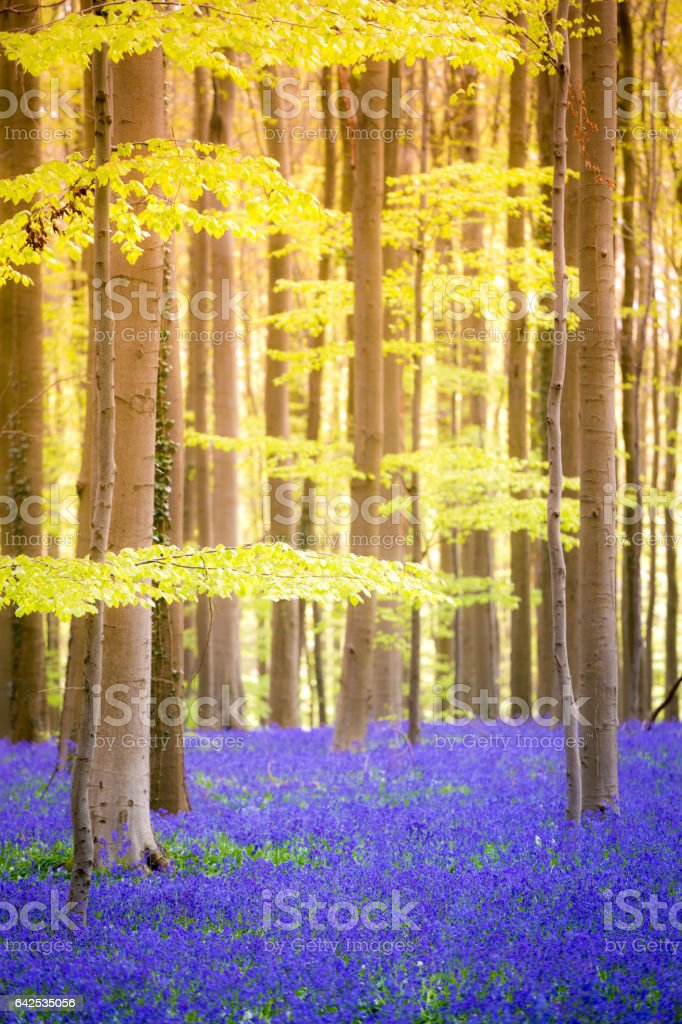 Hallerbos, Belgium. The enchanted forest stock photo