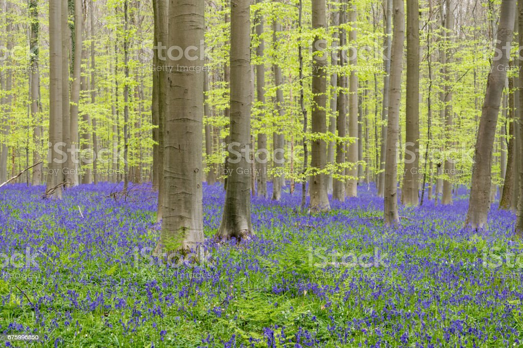 Hallerbos forest stock photo