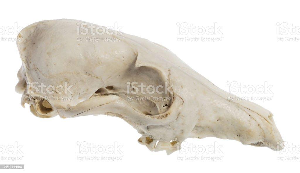 Halloween animal skull. stock photo