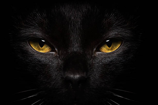 Halloween Black Cat Close-up Black Cat Close-up black cat stock pictures, royalty-free photos & images