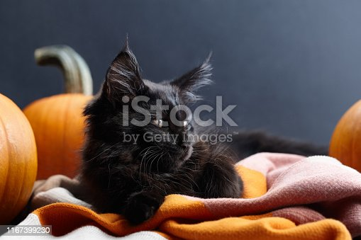 Black maine coon cat lying in warm plaid among orange pumpkins on black background. Symbol of Halloween.