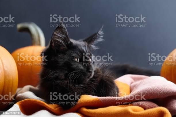 Halloween black cat in warm plaid among pumpkins picture id1167399230?b=1&k=6&m=1167399230&s=612x612&h=qkwgtkmzfmjrw ozfuxs8svkibf6ogahbuwyokl1usk=