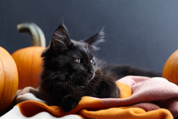 Halloween black cat in warm plaid among pumpkins Black maine coon cat lying in warm plaid among orange pumpkins on black background. Symbol of Halloween. halloween cat stock pictures, royalty-free photos & images