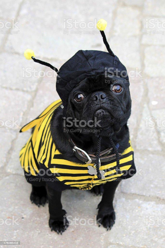 Halloween Bumblebee Pug stock photo