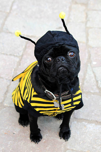 Halloween Bumblebee Pug A pug dressed as a bumblebee. pet clothing stock pictures, royalty-free photos & images