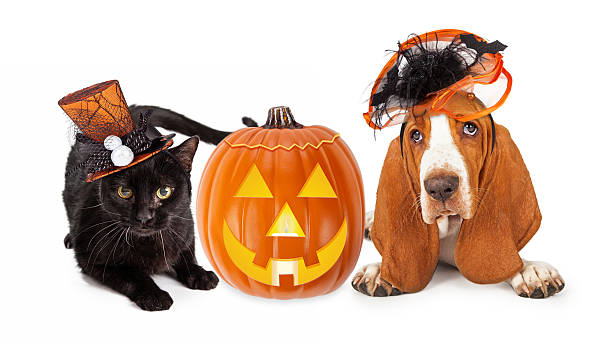 Halloween Cat and Dog in Funny Hats Cute black kitten and Basset Hound dog wearing funny and fancy Halloween hats laying with an illuminated jack-o-lantern pumpkin halloween cat stock pictures, royalty-free photos & images