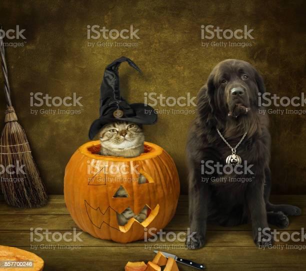 Halloween cat and dog picture id857700246?b=1&k=6&m=857700246&s=612x612&h=yyon4niejxjwn h8esisjtfek hcfuttejttadhyexq=