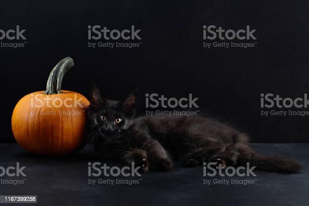 Halloween cat and pumpkin on black background picture id1167399258?b=1&k=6&m=1167399258&s=612x612&h=n72r3nupzmvvhq2b oozeacwjfbpp49hd vjrr9bzqq=