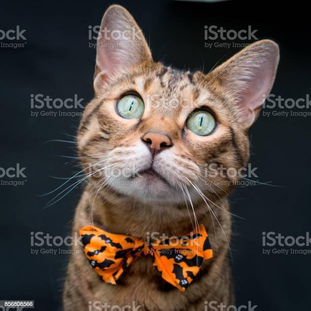 Halloween cat picture id856808566?b=1&k=6&m=856808566&s=612x612&h=9t1pobwbft2y 1xzhhlpv8bbw1lur ptlqdqu fmilw=