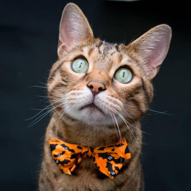 Halloween cat picture id856808566?b=1&k=6&m=856808566&s=612x612&w=0&h=0ha8i sjpuehh8tzmw0lqsetfuh2r4v6k4kqvoqkppm=