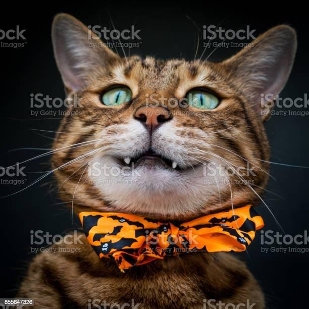Halloween cat stock photo picture id855647326?b=1&k=6&m=855647326&s=612x612&h=1npwgt7jdi9llwtcxo64z0z0r4wmdbyes50s7knbxxc=