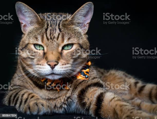 Halloween cat stock photo picture id855647504?b=1&k=6&m=855647504&s=612x612&h=31 j4rwtyvzmv5k9yv7jd8s6ayg4gzvbo7oev ghzcs=